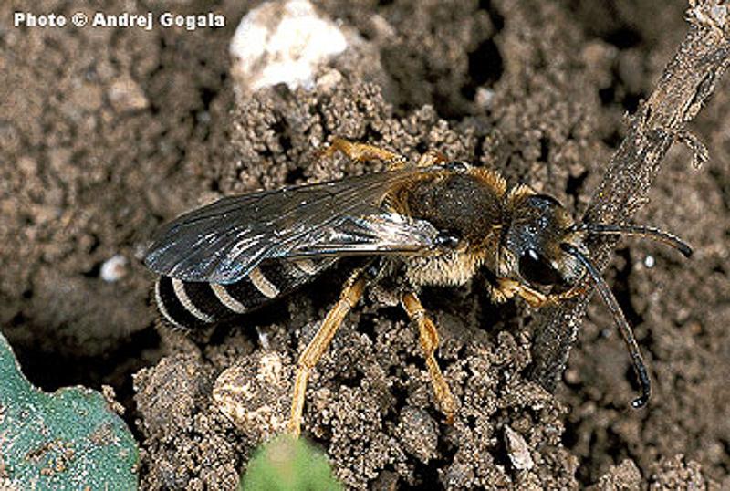 Bees : (Apidae) Halictus sexcinctus