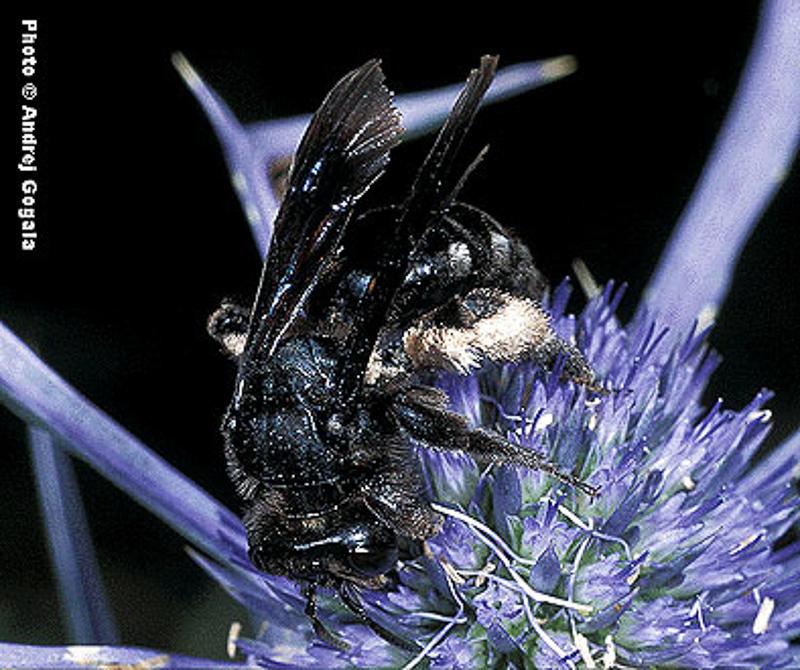 Bees : (Andrenidae) Andrena albopunctata