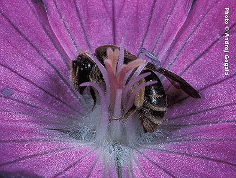 Bees : (Andrenidae) Andrena paucisquama