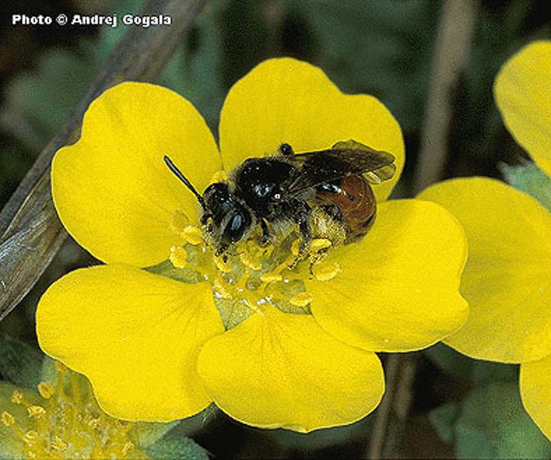 Bees : (Andrenidae) Andrena potentillae