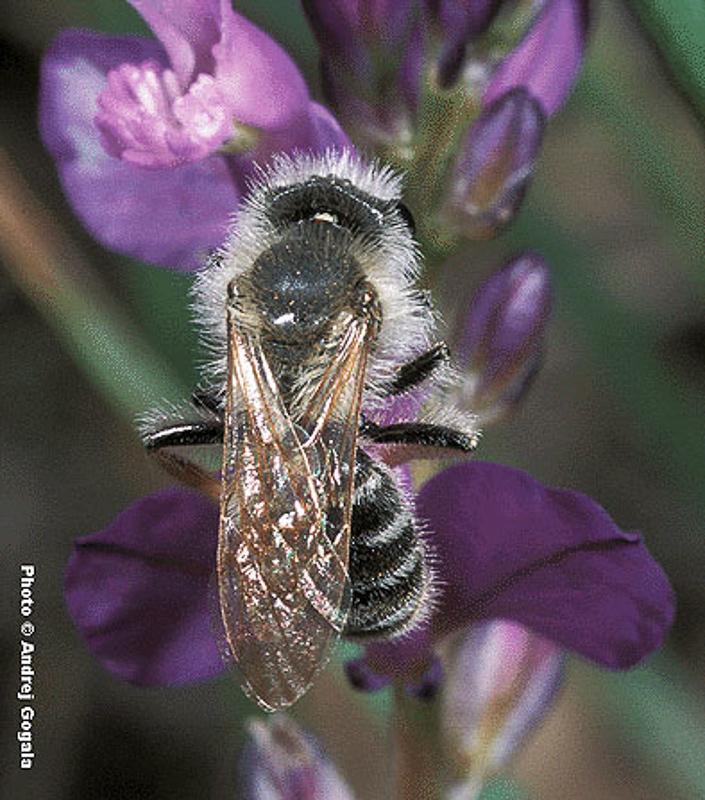 Bees : (Andrenidae) Andrena similis