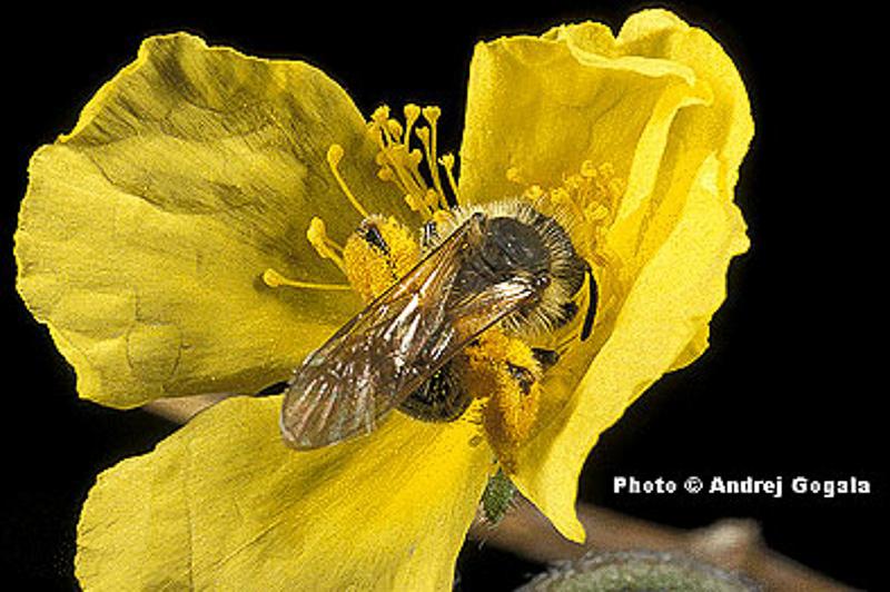 Bees : (Andrenidae) Andrena vulpecula
