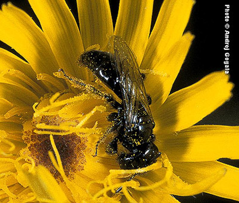 Bees : (Andrenidae) Panurgus calcaratus