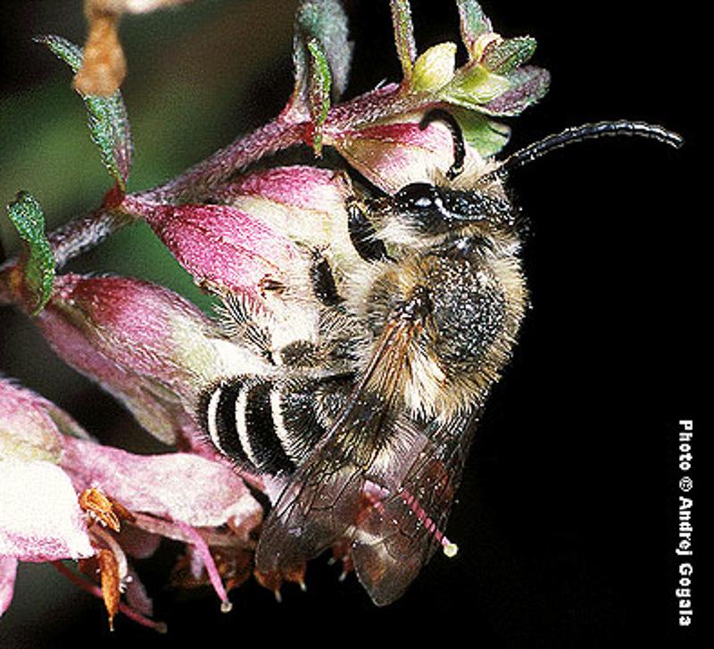 Bees : (Melittidae) Melitta tricincta