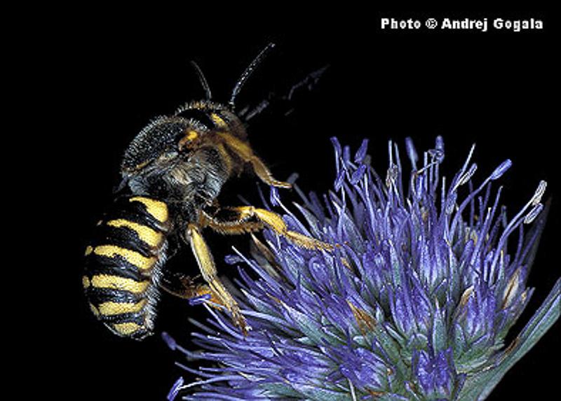 Bees : (Megachilidae) Icteranthidium grohmanni