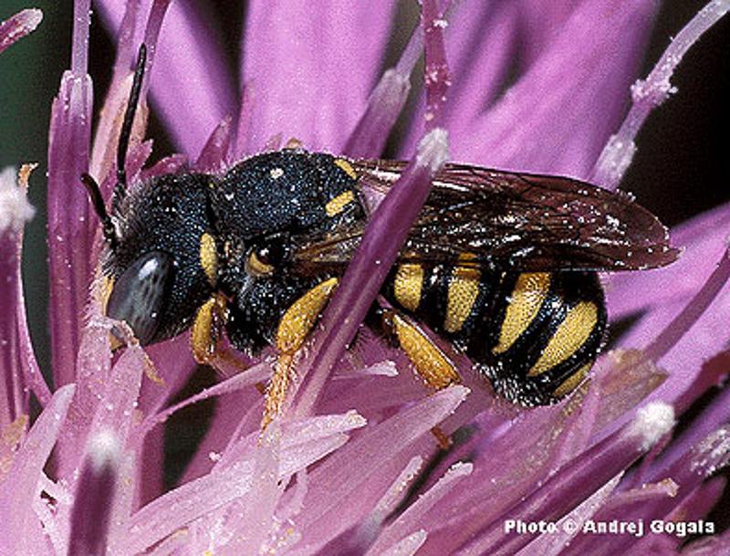 Bees : (Megachilidae) Pseudoanthidium nanum