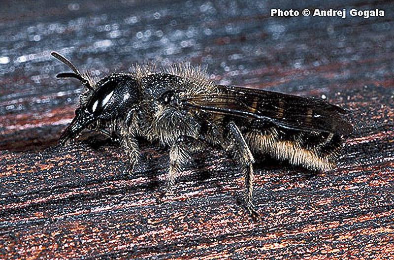 Bees : (Megachilidae) Chelostoma grande