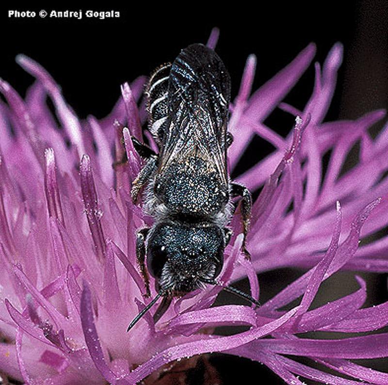 Bees : (Megachilidae) Osmia bidentata