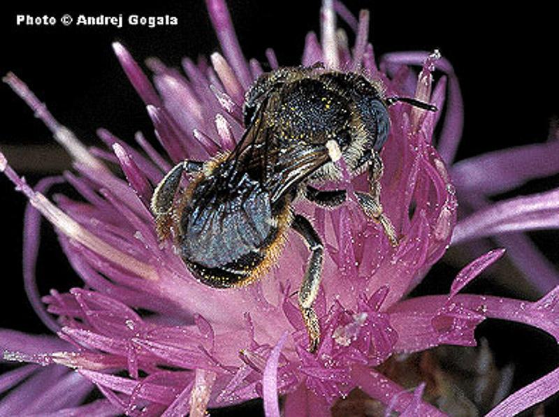 Bees : (Megachilidae) Osmia spinulosa