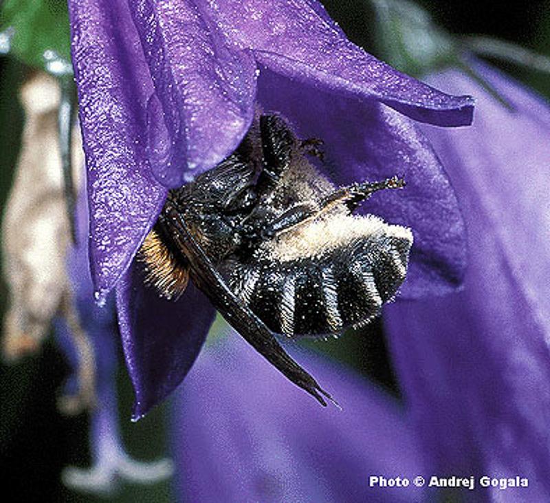 Bees : (Megachilidae) Hoplitis mitis