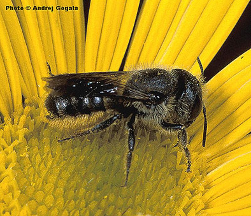 Bees : (Megachilidae) Osmia leaiana