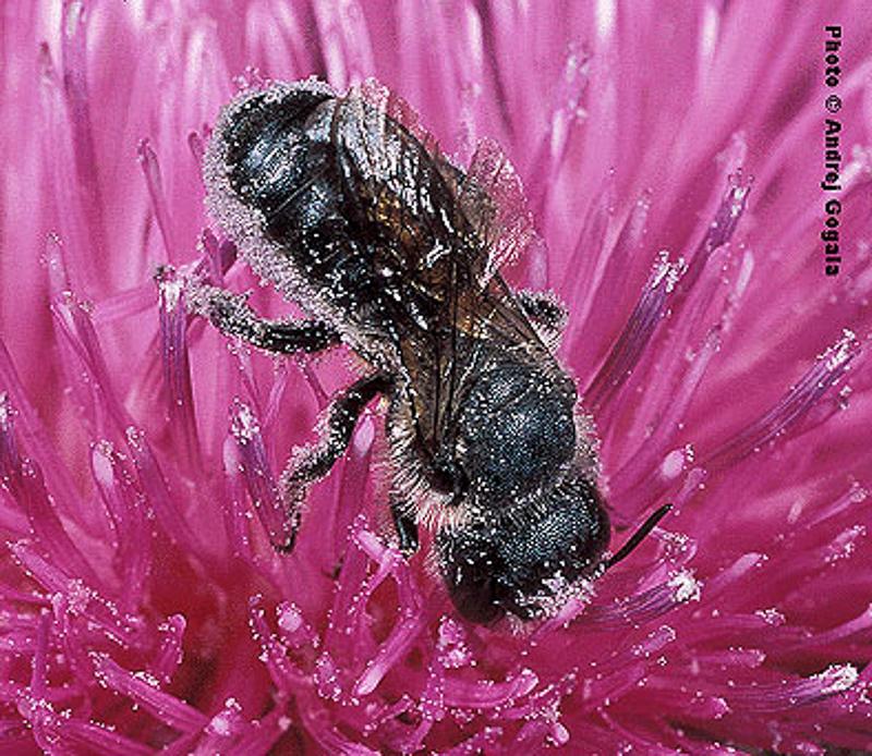 Bees : (Megachilidae) Osmia niveata