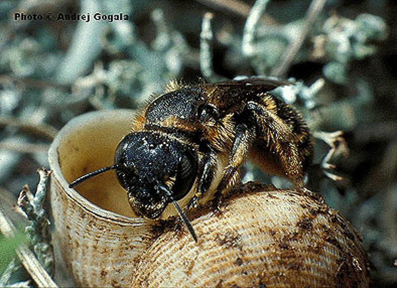 Bees : (Megachilidae) Osmia rufohirta