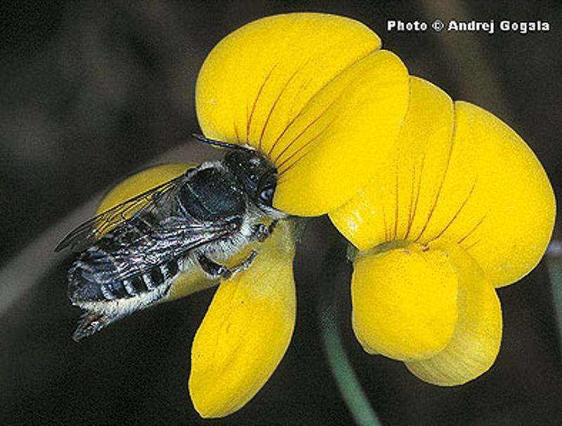 Bees : (Megachilidae) Megachile atratula