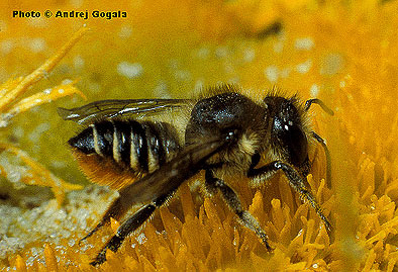Bees : (Megachilidae) Megachile centuncularis
