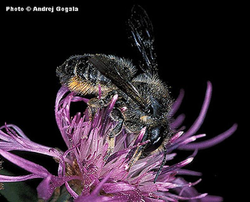 Bees : (Megachilidae) Megachile ligniseca