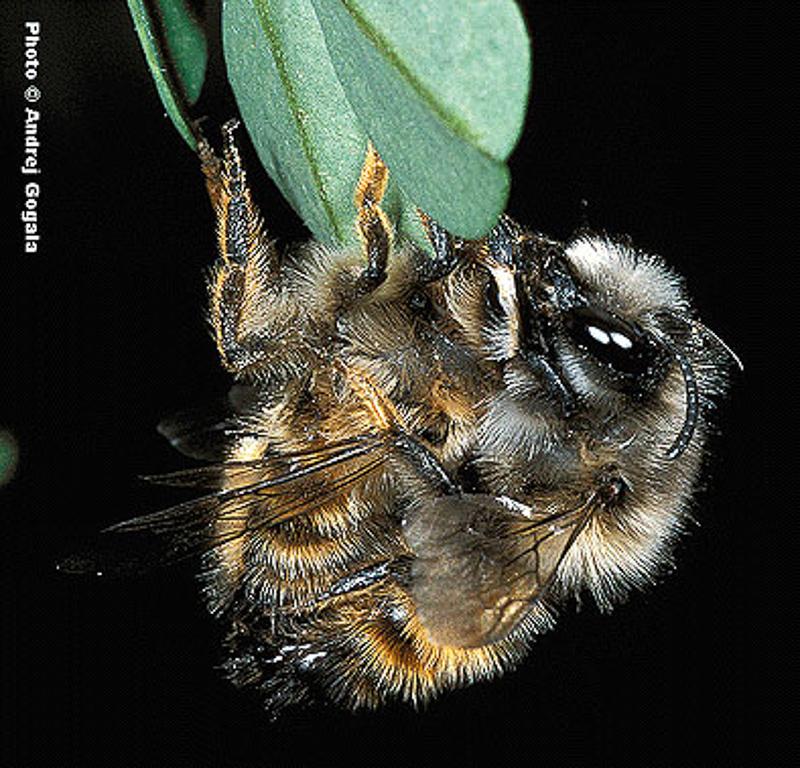 Bees : (Megachilidae) Megachile manicata
