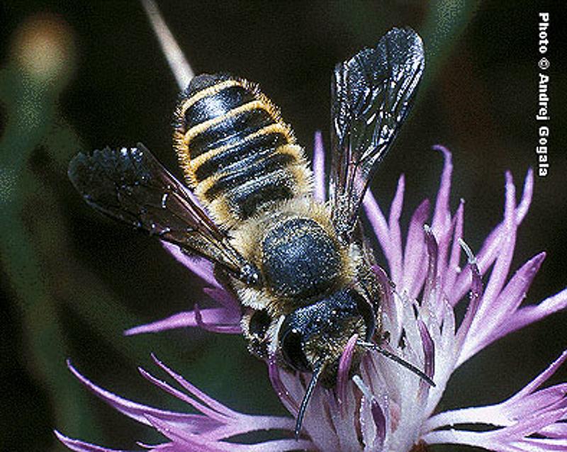 Bees : (Megachilidae) Megachile melanopyga