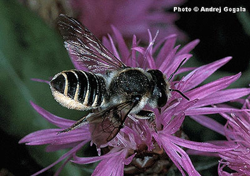 Bees : (Megachilidae) Megachile pilicrus