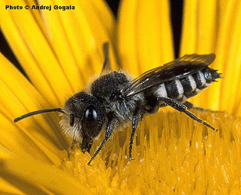Bees : (Megachilidae) Coelioxys mandibularis