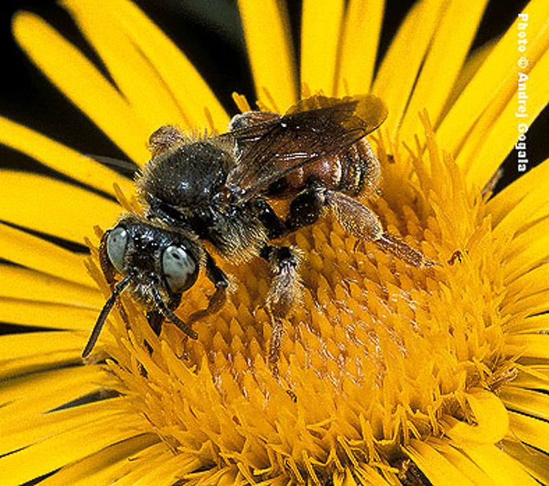 Bees : (Apidae) Epeoloides coecutiens