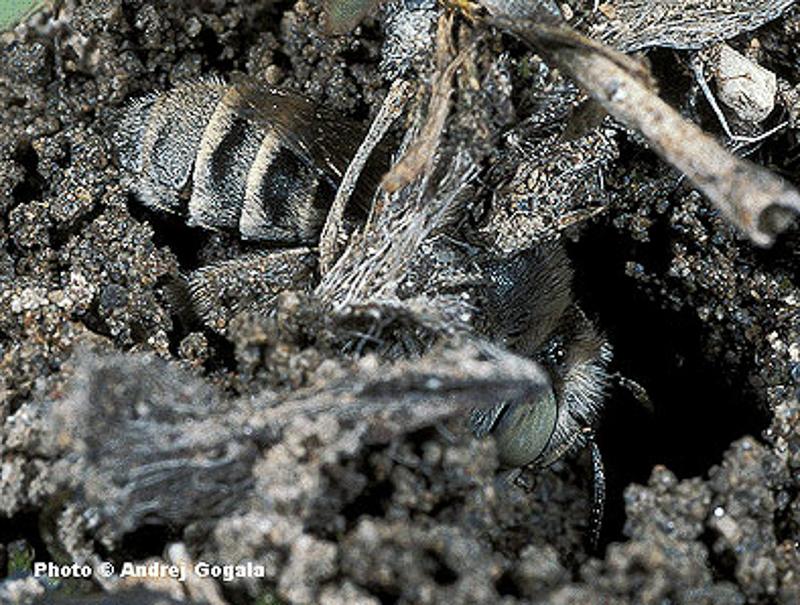 Bees : (Apidae) Anthophora bimaculata