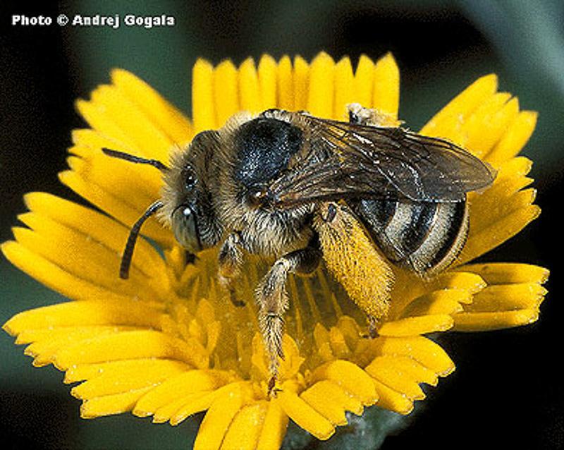 Bees : (Apidae) Tetraloniella alticincta