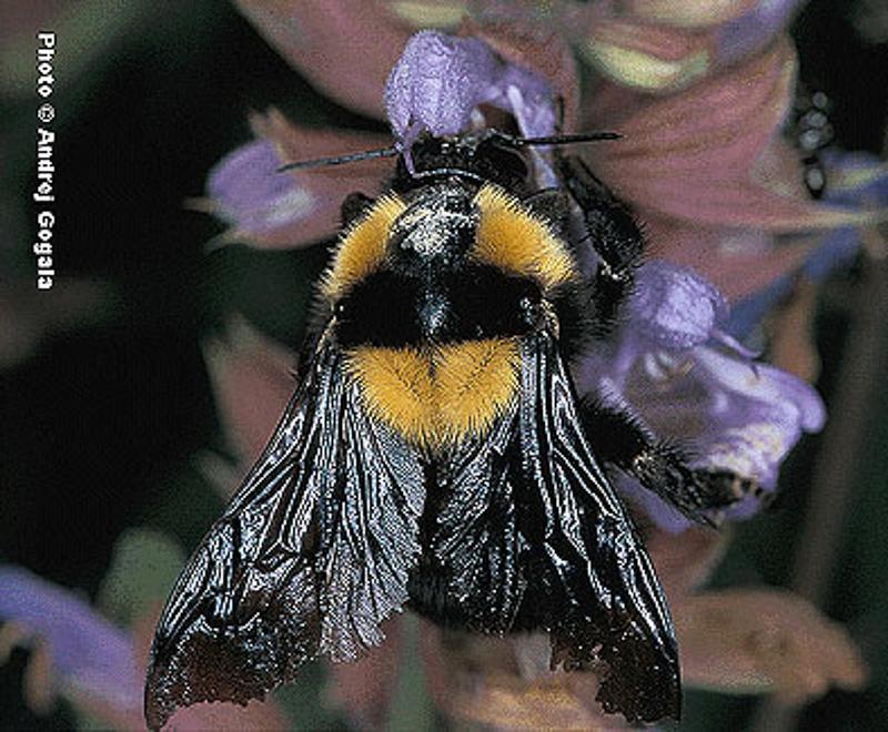 Bees : (Apidae) Bombus argillaceus