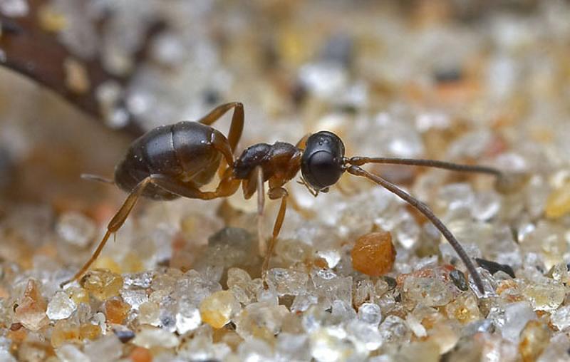 Ichneumonid and braconid wasps : (Ichneumonidae) Gelis agilis