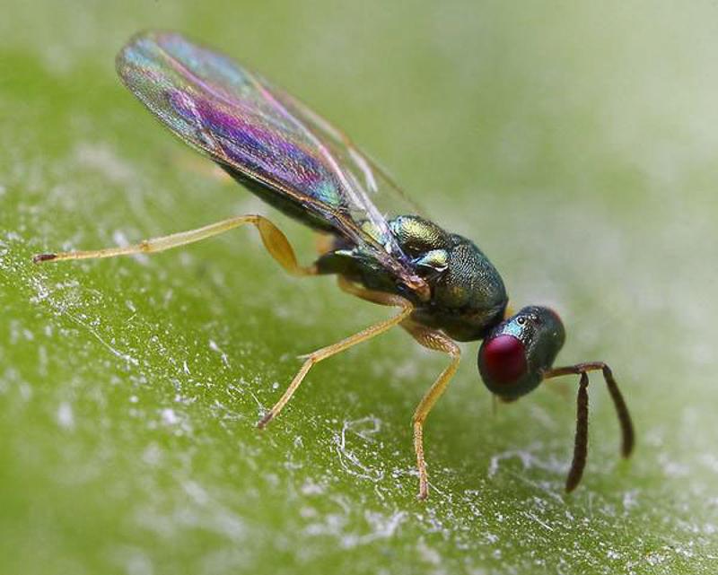 Chalcid wasps : (Pteromalidae) Stenomalina gracilis