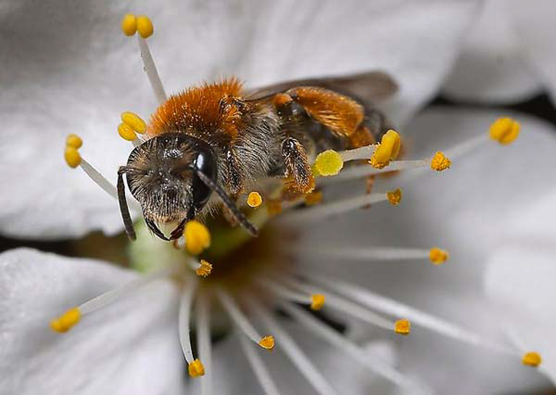 Bees : (Andrenidae) Andrena haemorrhoa