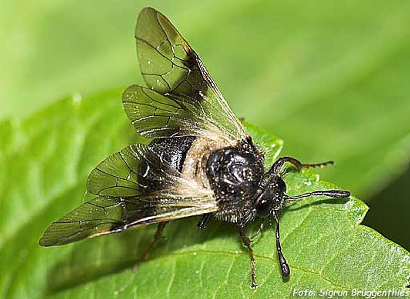 Sawflies and horntails : (Cimbicidae) Abia fasciata