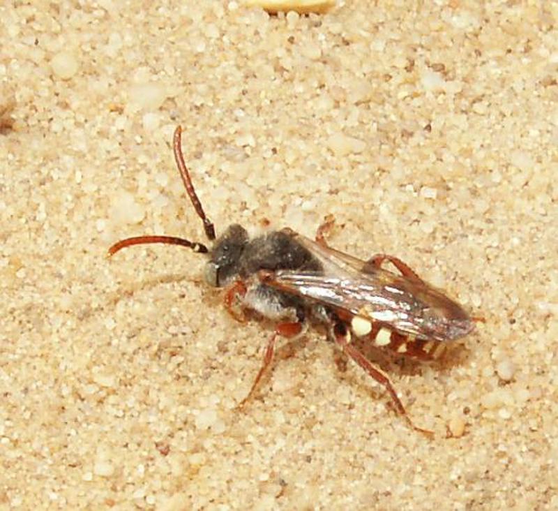 Bees : (Apidae) Nomada flavoguttata