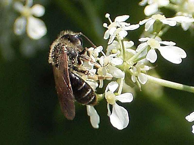 Bees : (Andrenidae) Andrena proxima