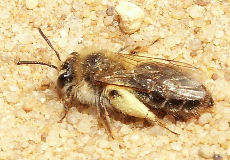 Bees : (Andrenidae) Andrena argentata