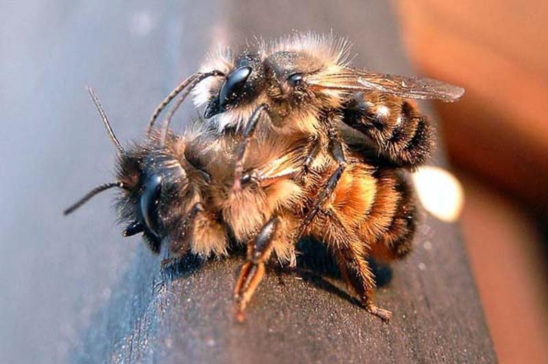 Bees : (Megachilidae) Osmia bicornis