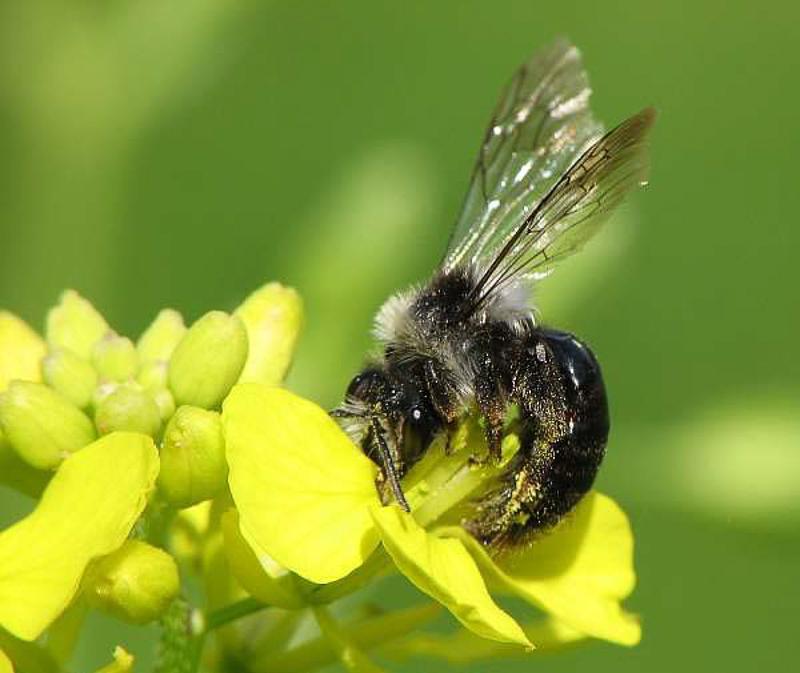 Bees : (Andrenidae) Andrena cineraria