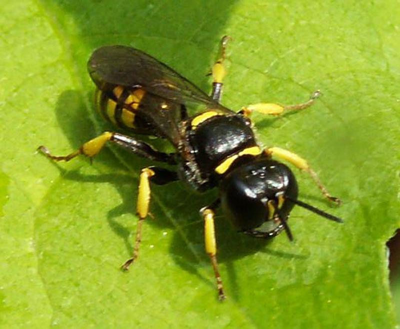 Aculeate Wasps : (Crabronidae) Crossocerus vagabundus