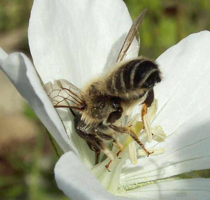 Bees : (Megachilidae) Megachile ericetorum