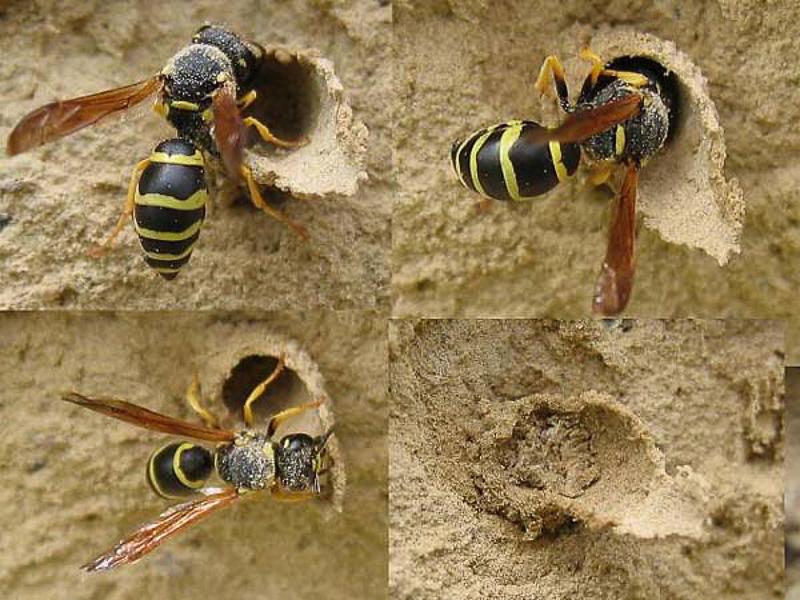 Aculeate Wasps : (Vespidae) Odynerus reniformis