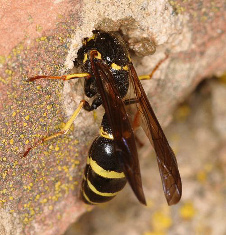 Aculeate Wasps : (Vespidae) Symmorphus gracilis