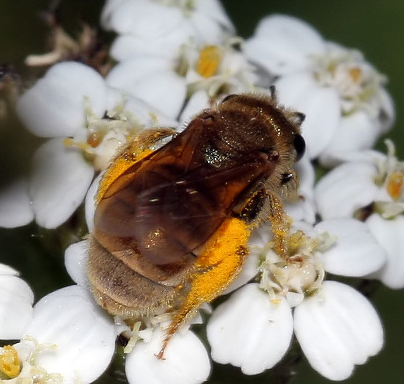 Bees : (Apidae) Halictus smaragdulus