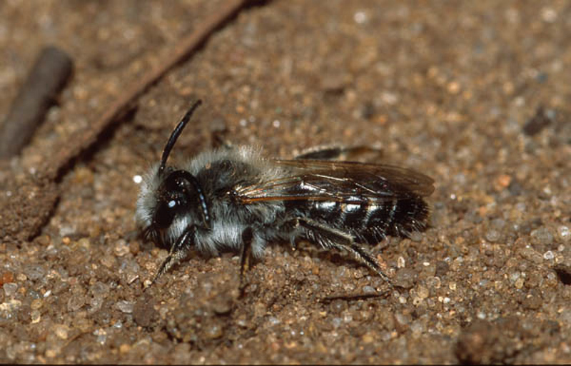 Bees : (Andrenidae) Andrena barbilabris