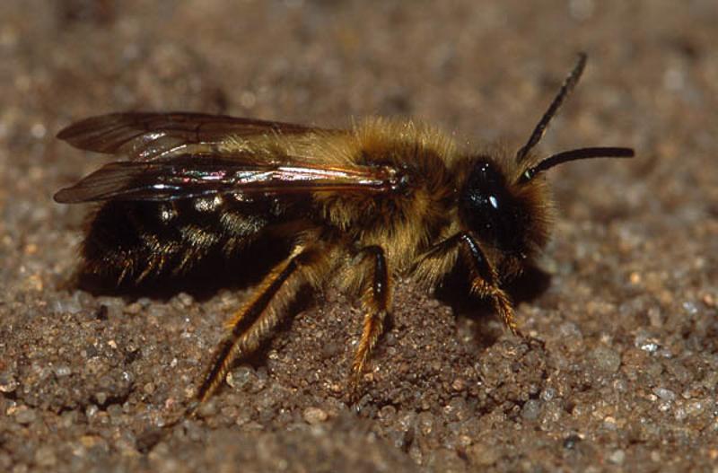Bees : (Andrenidae) Andrena nigroaenea