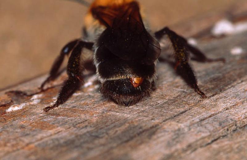 Bees : (Andrenidae) Andrena nitida
