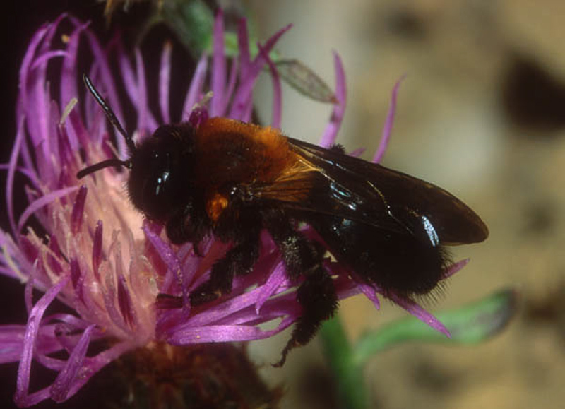 Bees : (Andrenidae) Andrena thoracica