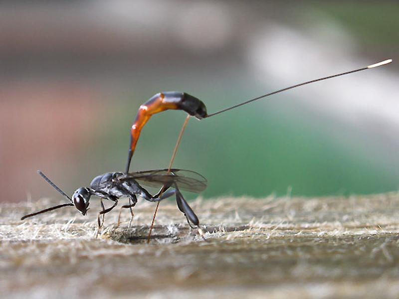 Other parasitoids : (Gasteruptiidae) Gasteruption jaculator