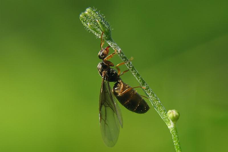 Ants : (Formicidae) Lasius flavus