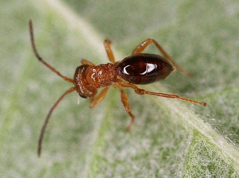 Other parasitoids : (Cynipidae) Biorhiza pallida