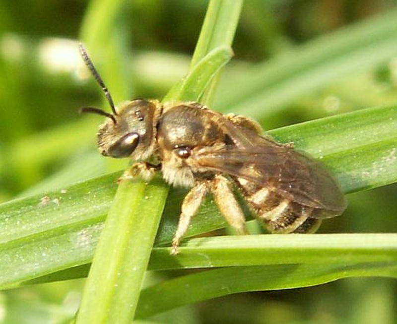 Bees : (Apidae) Halictus confusus